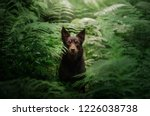 dog breed australian kelpie in... | Shutterstock . vector #1226038738