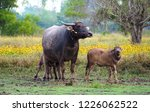 the buffalo and son are in the... | Shutterstock . vector #1226062522