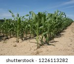 corn field for biogas | Shutterstock . vector #1226113282