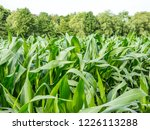 corn field for biogas | Shutterstock . vector #1226113288