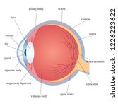 the structure of the human eye... | Shutterstock .eps vector #1226223622