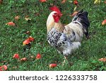 White rooster in the grass.