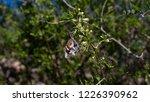 american snout nose  libytheana ... | Shutterstock . vector #1226390962
