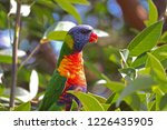 australian lorikeet in a tree | Shutterstock . vector #1226435905