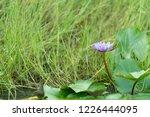 purple or violet lotus flowers...   Shutterstock . vector #1226444095