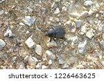 european dung beetle or dor...   Shutterstock . vector #1226463625