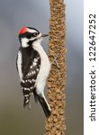 Downy Woodpecker Eating Mullei...
