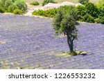 beautiful lavender filed in... | Shutterstock . vector #1226553232