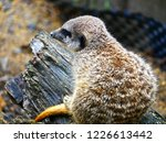suricata animal nature | Shutterstock . vector #1226613442
