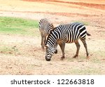 Two Small Zebra Eating  Grass...