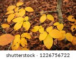 yellow leaves in a beech forest ... | Shutterstock . vector #1226756722