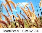 grasses flower. poaceae or...