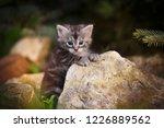 Stock photo gray fluffy kitten on summer outdoor stones 1226889562