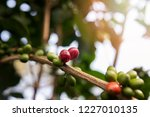 coffee tree with red coffee... | Shutterstock . vector #1227010135