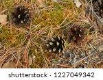 fallen cones  needles and moss  ...   Shutterstock . vector #1227049342