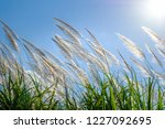 white reed sway in the wind on... | Shutterstock . vector #1227092695