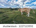 a cow on a big green alpine...   Shutterstock . vector #1227115552