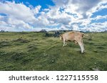 a cow on a big green alpine...   Shutterstock . vector #1227115558