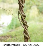 twisted organic vines growing... | Shutterstock . vector #1227210022