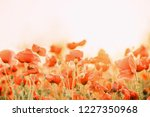 flowers background  red poppies ... | Shutterstock . vector #1227350968