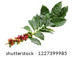 coffee berry on leaves and...   Shutterstock . vector #1227399985
