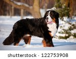 Bernse Mountain Dog Portrait I...