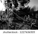 Common Lilac  Syringa Vulgaris...