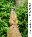 suricata   meerkat on a rock ... | Shutterstock . vector #1227660688