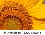 yellow sunflower on nature as a ... | Shutterstock . vector #1227680245