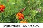 european peacock butterfly sits ...   Shutterstock . vector #1227755692