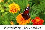 european peacock butterfly sits ...   Shutterstock . vector #1227755695