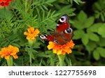european peacock butterfly sits ...   Shutterstock . vector #1227755698