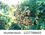 longan orchards   tropical... | Shutterstock . vector #1227788605