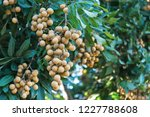 longan orchards   tropical... | Shutterstock . vector #1227788608
