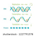 the central dogma of molecular... | Shutterstock . vector #1227791578