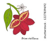 bixa orellana  annatto  achiote ... | Shutterstock .eps vector #1227839692