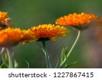 orange calendula flowers.... | Shutterstock . vector #1227867415