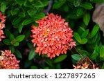 beautiful red spike flower king ... | Shutterstock . vector #1227897265