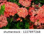 beautiful red spike flower king ... | Shutterstock . vector #1227897268
