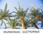palm tree against blue sky.... | Shutterstock . vector #1227929965