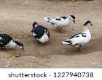 domestic fed domestic ducks ... | Shutterstock . vector #1227940738