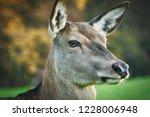 hinds and deers  wildlife | Shutterstock . vector #1228006948