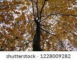 coloured beech trees in autumn. | Shutterstock . vector #1228009282