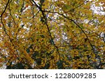 coloured beech trees in autumn. | Shutterstock . vector #1228009285