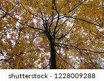 coloured beech trees in autumn. | Shutterstock . vector #1228009288