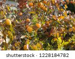 kaki tree with orange persimmon ... | Shutterstock . vector #1228184782