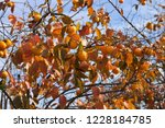 kaki tree with orange persimmon ... | Shutterstock . vector #1228184785