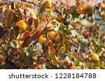 kaki tree with orange persimmon ... | Shutterstock . vector #1228184788