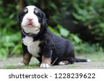 Stock photo having a litter of bernese mountain dog puppies was the best experience of my entire life this is 1228239622