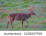 White Tailed Deer Buck In Gree...